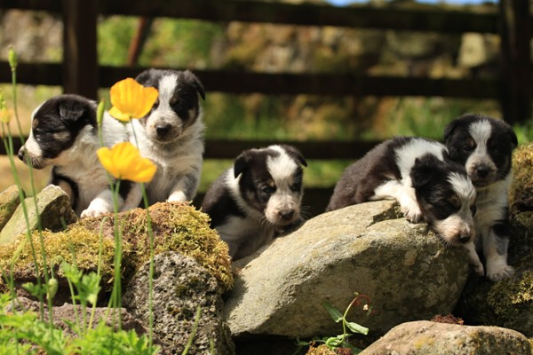 trust your heart' Border Collies