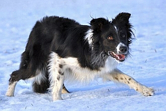 X G And H Border Collies